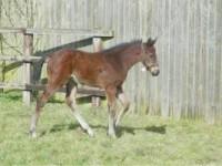 Green Desert colt, stable name Bobby
