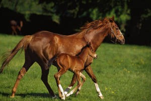 mare-and-foal-pedigree-stallion