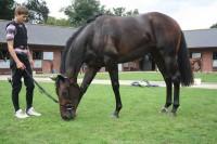 Lightning SpiHorses get plenty of grass after exerciserit enjoying a pick of grass after excerise