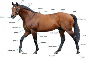 What to look for in a racehorse